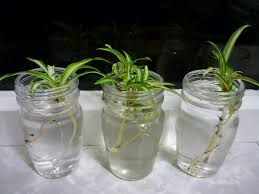 baby spider plants and meeting neighbors in morrisville ghost of