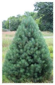 scotch pine christmas tree silent evergreens wholesale balsam fir fraser fir scotch