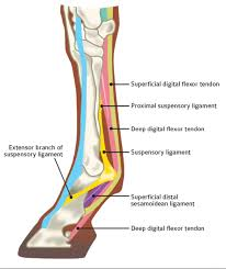 Ankle Anatomy Ligaments Tendons U0026 Ligaments Anatomy And Injuries Explained Cornerstone