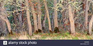 three 3 almost invisible mule deer hiding in a colorful deciduous