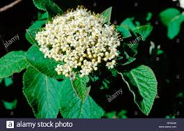 Mohican Viburnum Lantana Leaves And Flowers Poisonous Plant