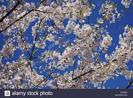 tree branches covered in white cherry blossoms flowers against a