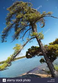 eastern white pine tree on a shore of georgian bay at killbear