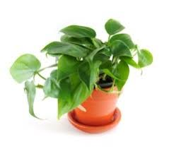 plant for office indoor office plants with pictures