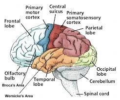Anterior Association Area Essential Neuroanatomy Brodmann U0027s Classification