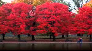 types of red colors buy red maple trees online cheap 3 25 from trees plants nursery