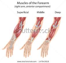 Anatomy Of The Right Arm Arm Muscle Anatomy Stock Images Royalty Free Images U0026 Vectors