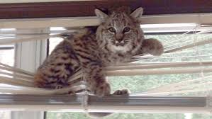 Blinds For Basement Windows by Bobcats In Mini Blinds Factory Direct Blinds