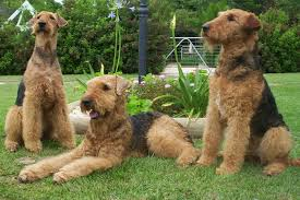 Do Brittany Spaniels Shed by Do Airedale Terriers Shed U2022 Bunkblog