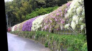 wisteria tunnel japon youtube