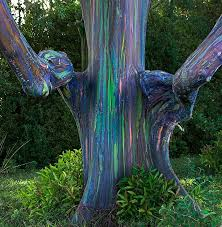 rainbow eucalyptus 15 pictures of the world s most colorful tree