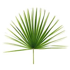 palm branches for palm sunday palm leaves and branches for palm sunday