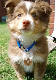 pomeranian x australian shepherd for sale 17 best images about beebee animals on pinterest too cute
