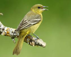 orchard oriole audubon field guide birds icteridae blackbirds