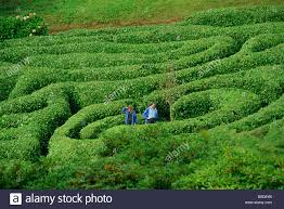 two people lost in glendurgan maze near falmouth cornwall