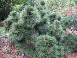 free ornamental pine trees from eecaeaeb on home design ideas with