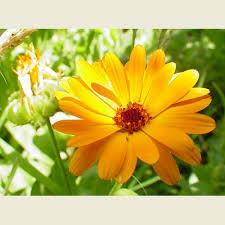 calendula flowers herbal products shop moonwise herbs conroy