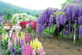 japan flower tunnel wisteria flower tunnel in japan our motivations