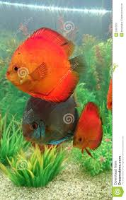 Home Blue Fish Blue Diamond And Marlboro Red Discus Fish Stock Photo Image