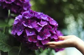 types of purple hello hydrangeas 7 types of hydrangeas and how to grow them