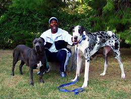 Blind Great Dane Great Danes At Gentle Giants Rescue And Adoptions