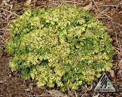 chamaecyparis obtusa golden sprite miniature gold hinoki