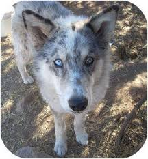australian shepherd schnauzer mix santa fe nm australian shepherd meet kristian a dog for adoption