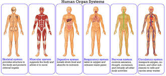 Male And Female Anatomy Download Human Body Systems Human Male Female Anatomy Organ Charts