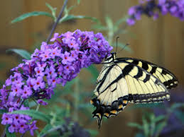butterfly bush pictures and seeds