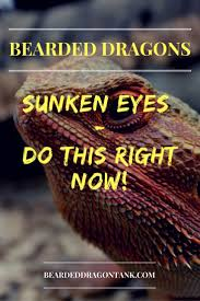 Bearded Dragon Behavior Before Shedding by Bearded Dragon Sunken Eyes U2013 The Real Reasons And What You Can Do