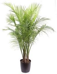 Great Indoor Trees Hgtv by Best 25 Majestic Palm Ideas On Pinterest Banana Plant Indoor