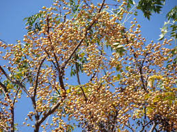 native plants in india chinaberry uses u2013 facts about growing chinaberry trees