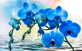 blue orchid flower blue orchid flowers water 1440x900