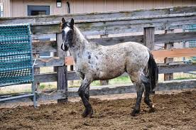 mustang adoption blm adoption review the mutterer