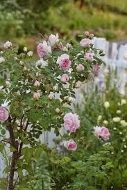 170 best roses and picket fences images on pinterest picket