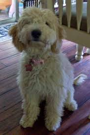 goldendoodle puppy treats 134 best 4 legged pals images on a beautiful
