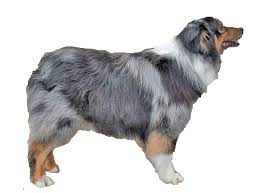 australian shepherd outline gallery