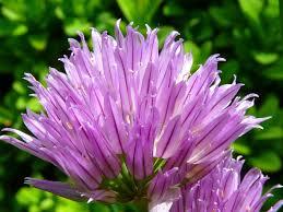 fleurs de ciboulette en cuisine images gratuites fleur violet pétale floraison aliments herbe