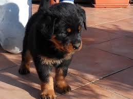 belgian sheepdog price in india rottweiler puppies for sale euro puppy