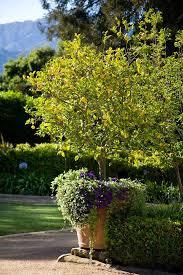 best 25 potted trees ideas on indoor lemon tree grow