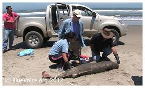 Seeking Dolphin Mass Dolphin Deaths In Peru Blamed On Seeking Sonar Blast