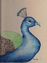 colored pencil peacock by chilledrawmeat on deviantart