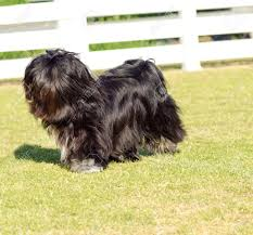 affenpinscher long hair a small young black lhasa apso dog with a long silky coat covering