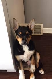 australian shepherd vomiting my dog won u0027t stop vomiting please help doctor dog u0027s blog