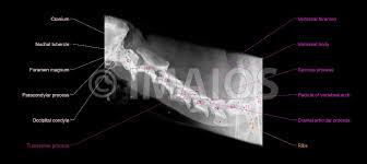 Dog Tooth Anatomy Radiographs Of The Dog