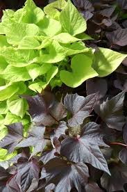 ornamental sweet potato vine is a garden accent nola