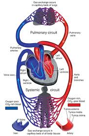 External Heart Anatomy Heart Anatomy Size Location Coverings And Layers Anatomy