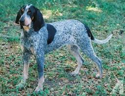 bluetick coonhound youtube a bluetick coonhound named tet was a companion of stringf