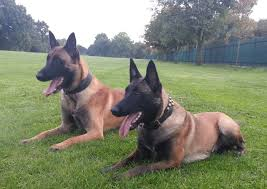 belgian shepherd usa top working line malinois puppies london chessington surrey