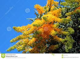nuytsia floribunda australian christmas tree stock photo image